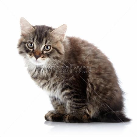 Полосатый пушистый кот сидит на белом фоне