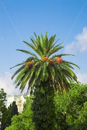 Фотография на тему Солнечное пальмовое дерево