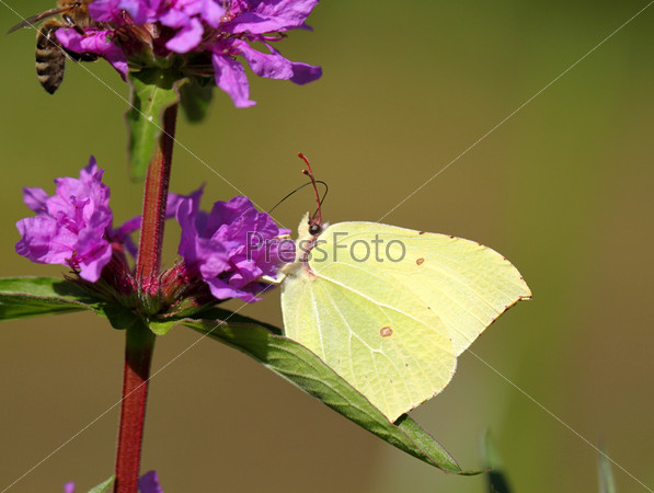 Бабочка на голубом цветке