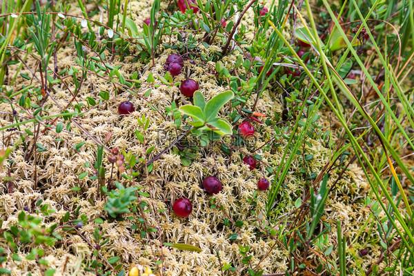 Дикая клюква, растущая в болоте, осенняя уборка