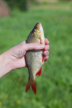 Пойманный чебак в руке