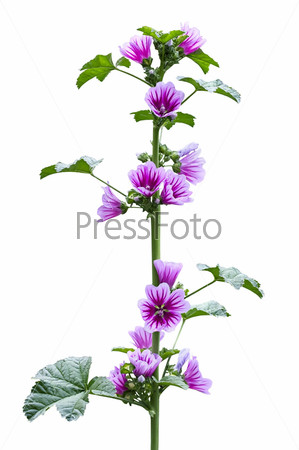 Дикая мальва во время цветения