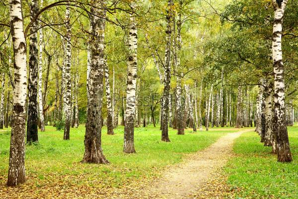 Осенняя аллея в сентябрьской березовой роще