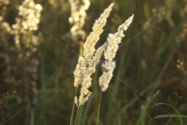 Фотография на тему Сухая трава