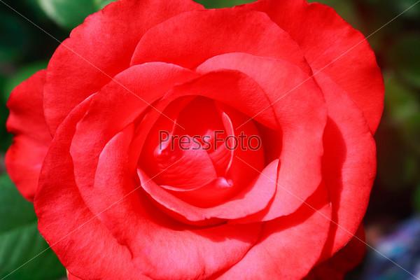 Фотография на тему Красивая цветущая роза на фоне зеленых листьев