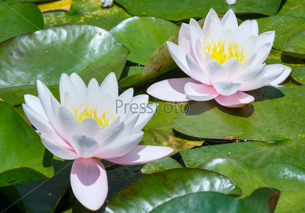 Розовые водяные лилии