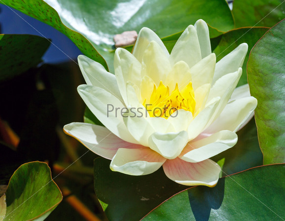 Фотография на тему Розовые водяные лилии