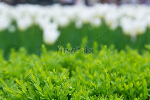 Фотография на тему Тюльпаны, фон