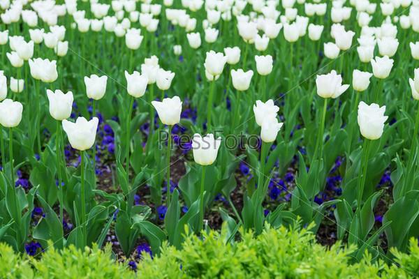 Тюльпаны, фон