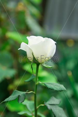 Фотография на тему Роза