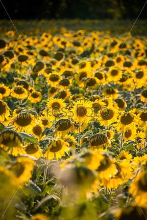 Фотография на тему Поле подсолнечника в яркий летний день