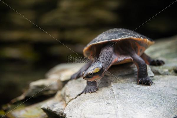 Фотография на тему Медленно идущая черепаха