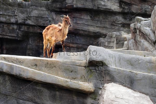 Гривистый баран на искусственной скале - зоопарк, Антверпен, Бельгия