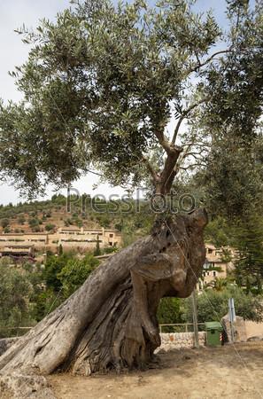 Фотография на тему Старое оливковое дерево