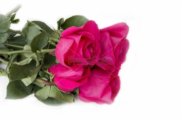 Фотография на тему Розовые розы на белом фоне