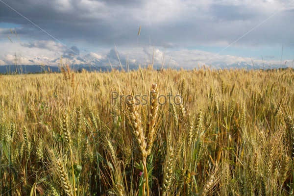 Пшеничное поле в непогоду