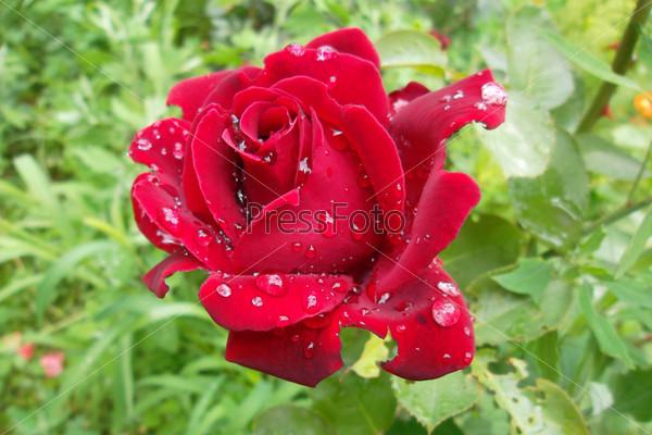 Фотография на тему Роза в каплях росы