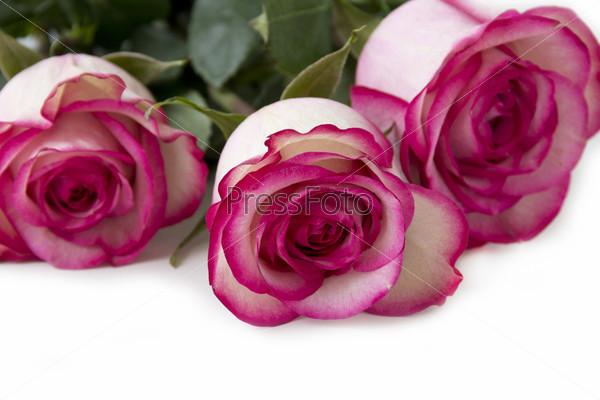 Фотография на тему Букет красно-белых роз крупным планом