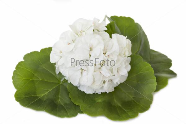 Белая пеларгония, цветы