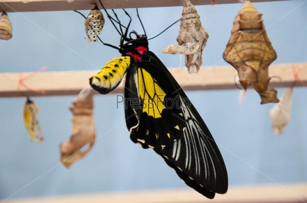Фотография на тему Превращение из куколки в бабочку Золотая птицекрылка
