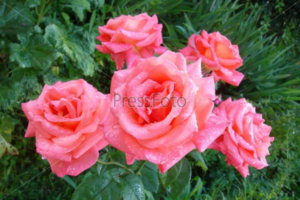 Фотография на тему Розовые розы