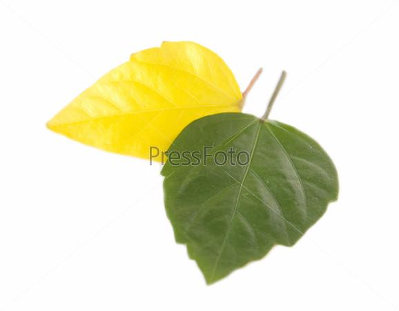 Желтый и зеленый лист на белом фоне