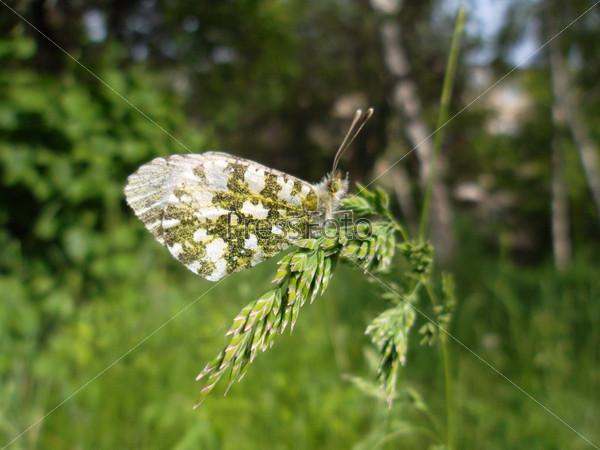 Бабочка на колоске полевой травы