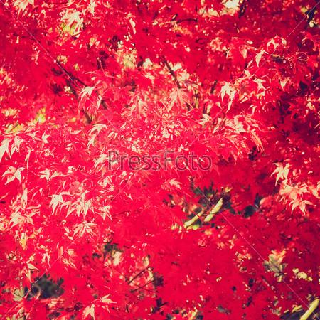 Винтажная фотография канадского клена с красными листьями в качестве фона