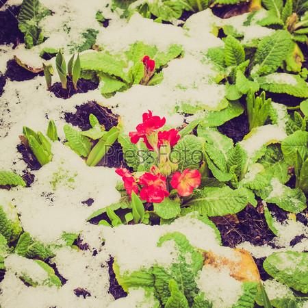 Примула под снегом в начале весны
