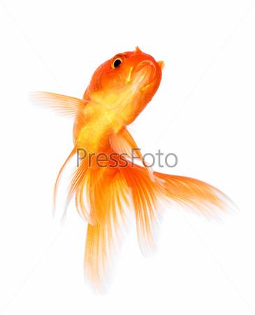 Фотография на тему Золотая рыбка