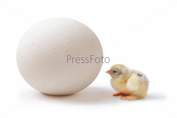 Яйцо страуса и цыпленок