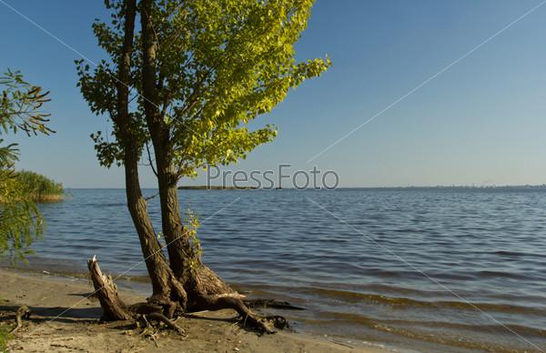 Вечер на берегу реки Днепр, тополь у воды
