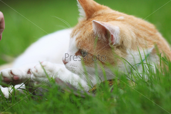 Фотография на тему Красивый бело-рыжый кот