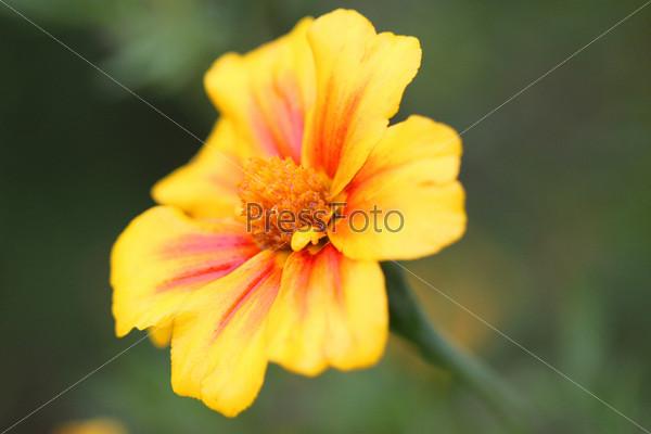 Красивый желтый цветок на зеленом фоне