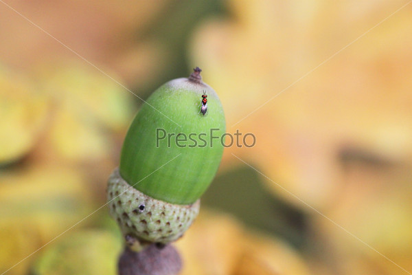 Зеленый желудь на фоне желтых листьев