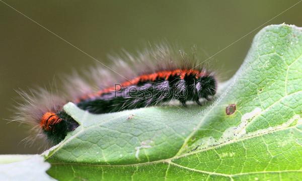 Фотография на тему Большая черно-красная гусеница
