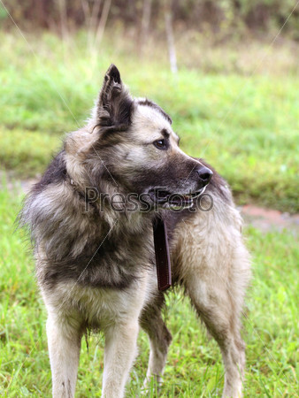 Фотография на тему Собака стоит на зеленой траве