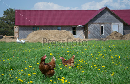Курицы на ферме