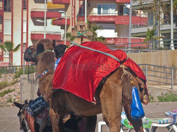 A camel on the beach in Turkey