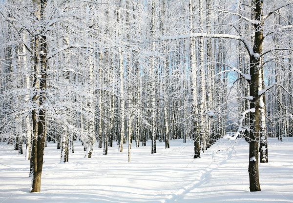 Pathway in winter forest