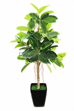 Ficus elastica (Indian Rubber Bush) in black flowerpot on white
