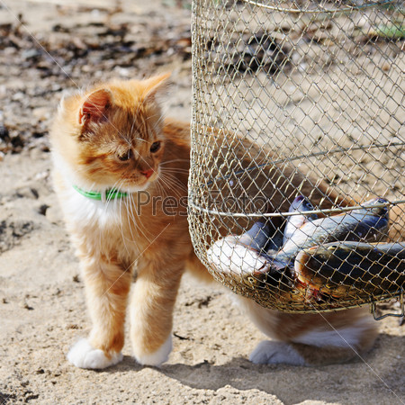 Young red maine coon and fish.