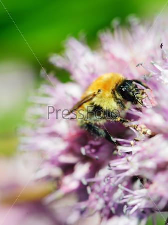 Macro shot of honey bee on blue flower.
