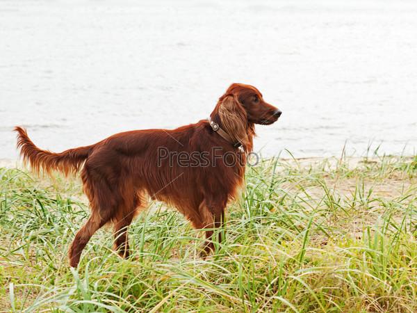 Hunting irish setter standing in the grass.