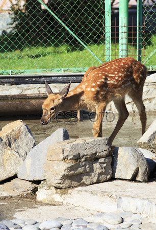 Beautiful little spotted deer in the petting zoo.