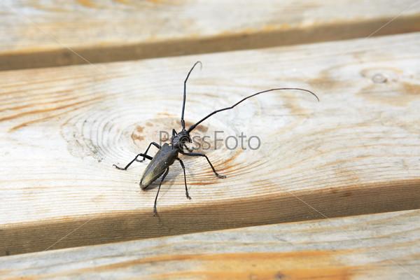 Musk beetle (Aromia moschata)