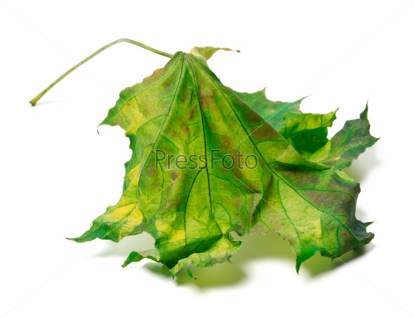 Yellowed maple-leaf