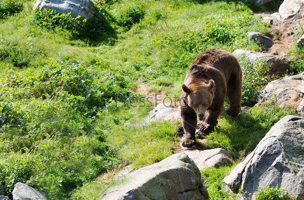 Brown bear is posing on the rock