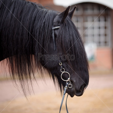 Portrait of a black horse.