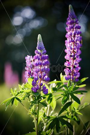 Lupine flowers.